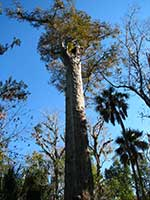 Image of a cypress tree